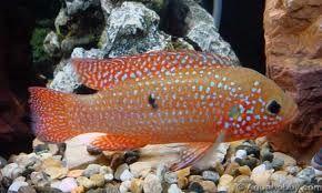 Comprar Peixe Ornamental Aqu�rio �gua Doce - J�ia