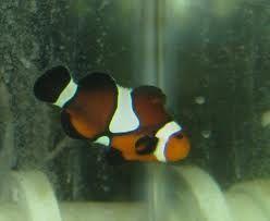 Comprar Peixe Ornamental Aqu�rio Marinho -  (Ocellaris Black, novo criado)
