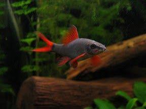 Comprar Peixe Ornamental Aqu�rio �gua Doce - Labeo Franatus pequeno