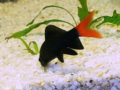 Comprar Peixe Ornamental Aqu�rio �gua Doce - Labeo Bicolor pequeno