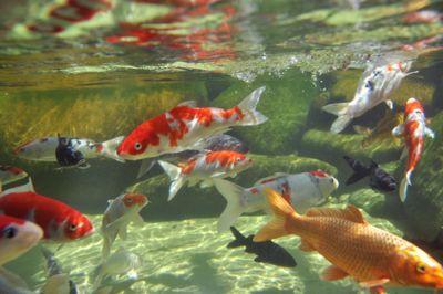 Comprar Peixe Aqu�rio �gua Doce ou Lago - Carpa 13 a 16cm