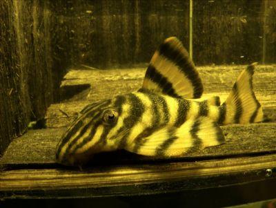 Comprar Peixe Ornamental Aqu�rio �gua Doce - Cascudo Panaque