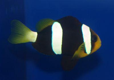 Comprar Peixe Ornamental Marinho - BLACK Clarki (Amphirion Xanthurus)