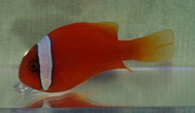 Comprar Peixe Ornamental Marinho - Tomato Clownfish Selvagem Gr (Amphiprion Melanopus)