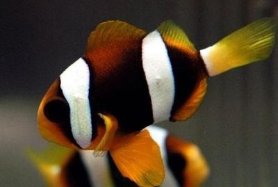 Comprar Peixe Ornamental Aqu�rio Marinho - Ocellaris Clarki 3 a 4cm