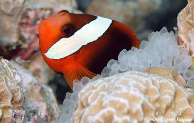 Comprar Peixe Ornamental Marinho - Tomato Clownfish Criado (Melanopus)m�dio