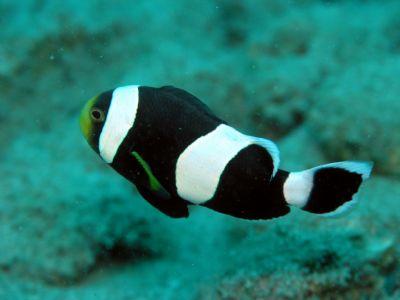 Comprar peixe Ornamental marinho - Saddle Back Black Clownfish m�dio