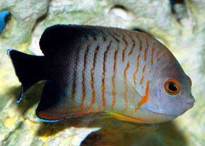 Comprar Peixe Ornamental Mrinho - Eibli Angelfish (Centropyge Eibli Red Stripes)