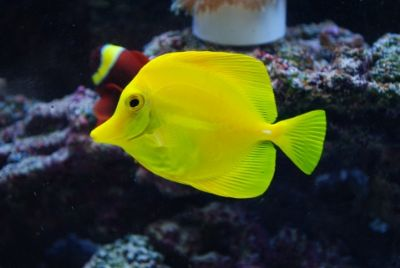 Comprar Peixe Ornamental Marinho - Yellow Tang peq. (Zebrassoma Flavescens)