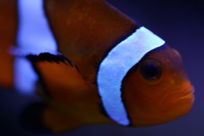 Comprar Peixe Ornamental Marinho - Ocellaris Clownfish Gr. (Amphiprion Ocellaris)