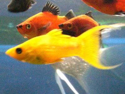 Comprar Peixe Ornamental Aqu�rio �gua Doce - Molin�sia Color