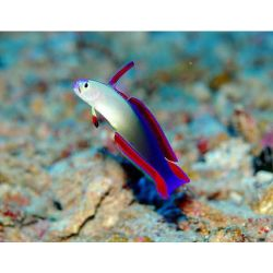 Comprar Goby Purple Firefish (Nemateleotris decora) m�dio
