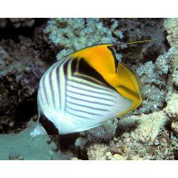 Comprar Auriga butterflyfish  (Chaetodon auriga)