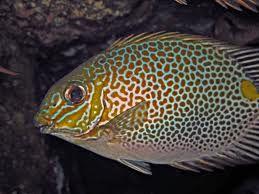 Comprar Peixe Marinho - Gold Saddled RabbitFish PQ