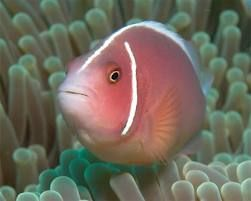 Comprar Peixe Ornamental Aqu�rio Marinho - Ocellaris PinkSkunk Clownfish m�dio