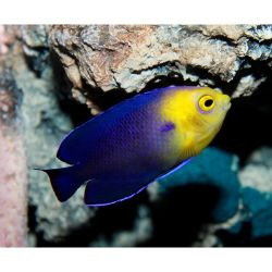 Comprar Peixe Ornamental Marinho - Cherub Pygmy angelfish (Centropyge argy)