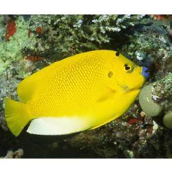 Comprar Peixe Ornamental Marinho - Flagfin Angelfish