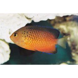 Comprar Peixe Ornamental Marinho - Rusty Angelfish ,Centropyge Ferrugatus