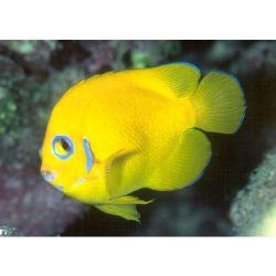 Comprar Peixe Ornamental Marinho - Lemon Peel Angelfish HAWAII