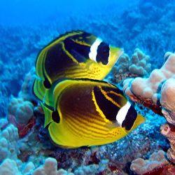 Comprar Peixe Ornamental Aqu�rio Marinho - Racoon Butterflyfish peq
