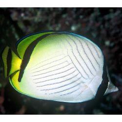 Comprar Peixe Ornamental Marinho - Vagabond's Butterflyfish peq