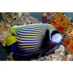 Comprar Peixe Ornamental Marinho - Imperator Angelfish