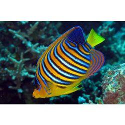 Comprar Peixe Ornamental Marinho - Regal Angel Fish BALI m�dio